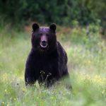 Brown bears in Romania